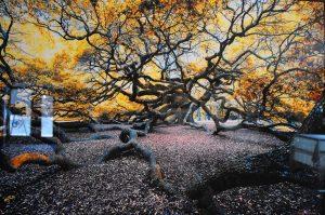 Angel Oak by Charles Bonham